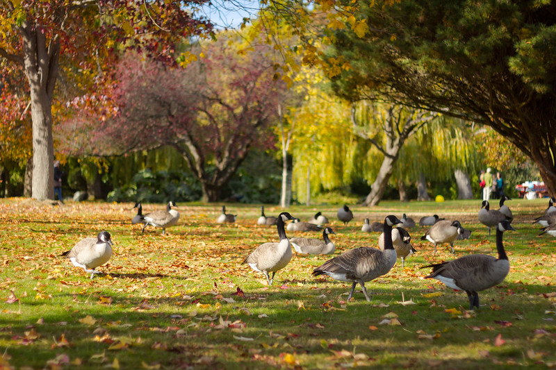 canada geese in fall.jpg