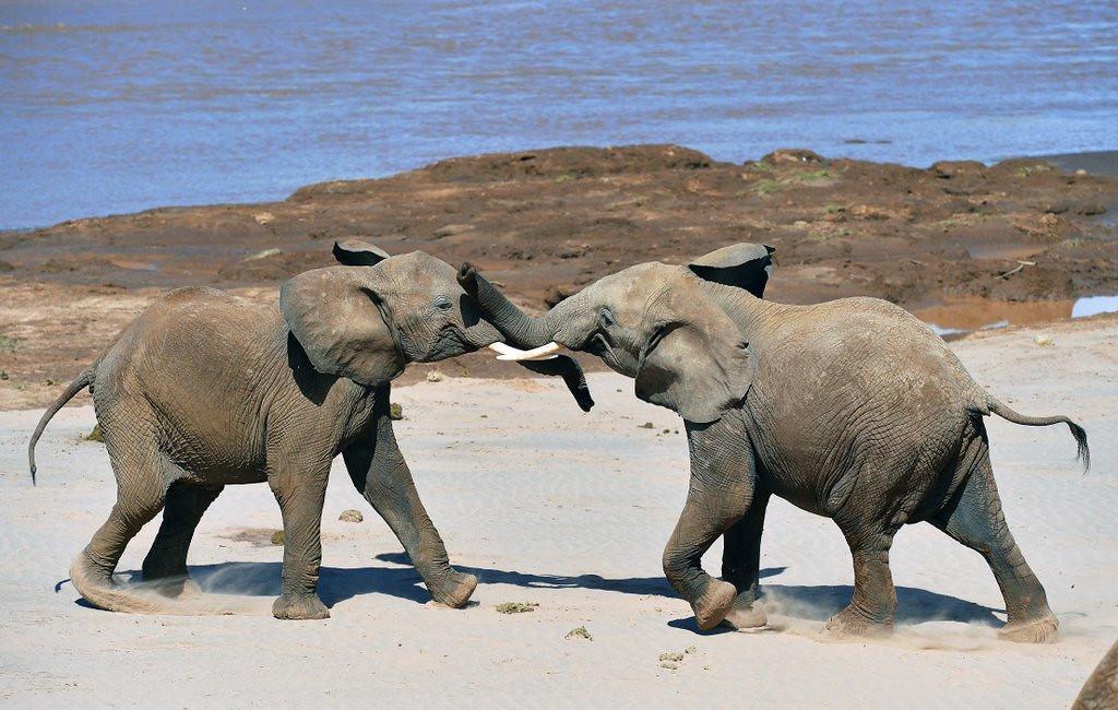 . <p>13. ELEPHANTS <p>The longtime symbol of the Republican Party, though elephants have much longer memories.  (Carl de Souza/AFP/Getty Images)