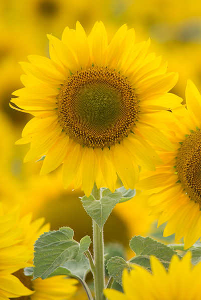 vertical sunflower 8-1.jpg