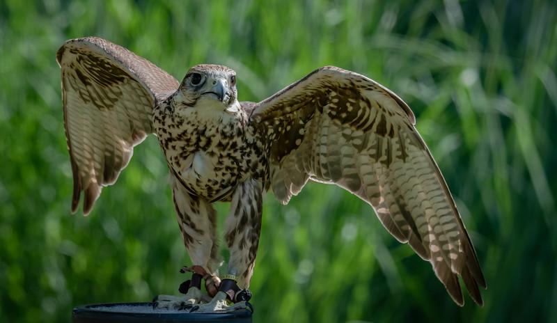Saker Falcon 1