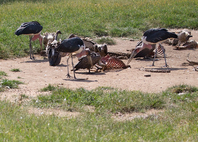Marobou Stork