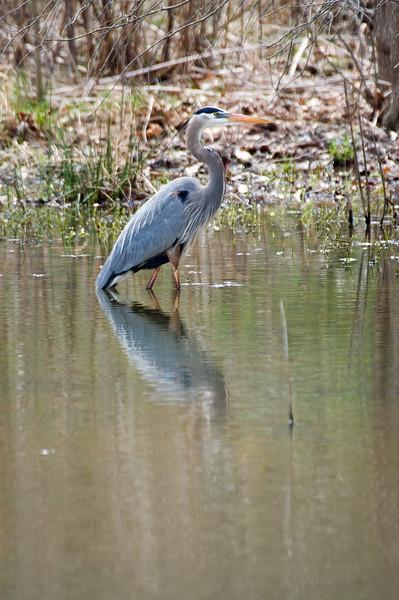 Great Blue Heron - D6533 - Breeding Adult (head plumes)