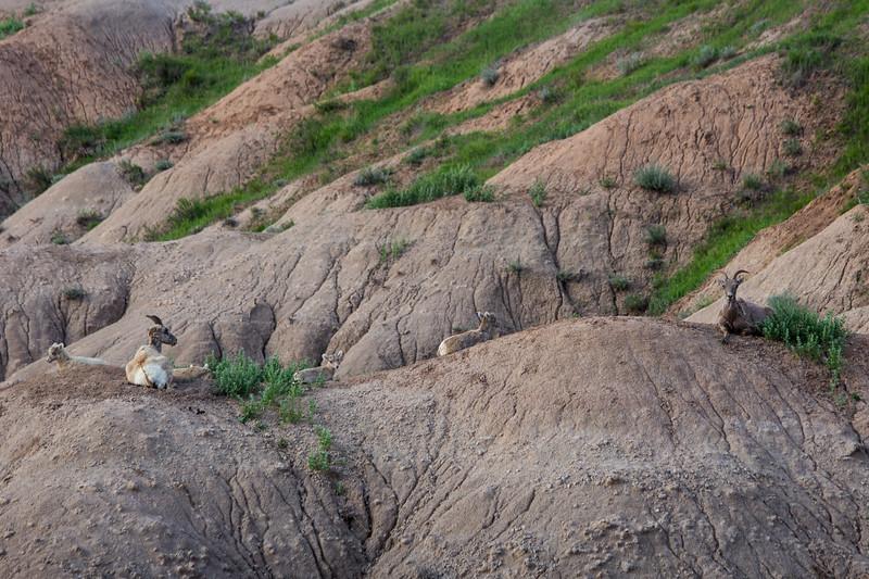 Sheep-7857.jpg
