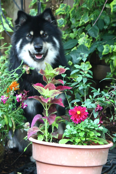 Onni loves being behind the pots July 1 2013
