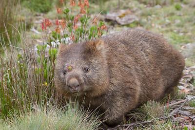 Dyr fra Tasmanien
