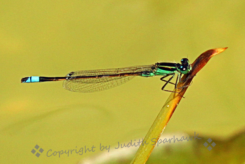 Black-fronted Forktail Damselfly ~ This damselfly was so tiny, when I photographed it on a stalk of grass in a pond, I had no idea of the colors and markings.  Once I had the image home and on the computer, I was happy to find one I don't believe I had ever seen before.
