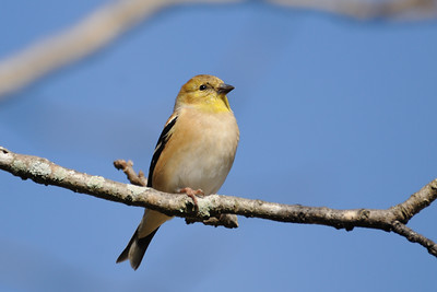 . . . but American goldfinches are.