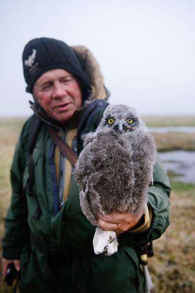 New York Times - Arctic Owls