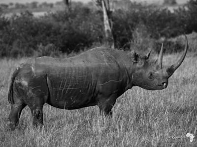 B&W Black Rhino