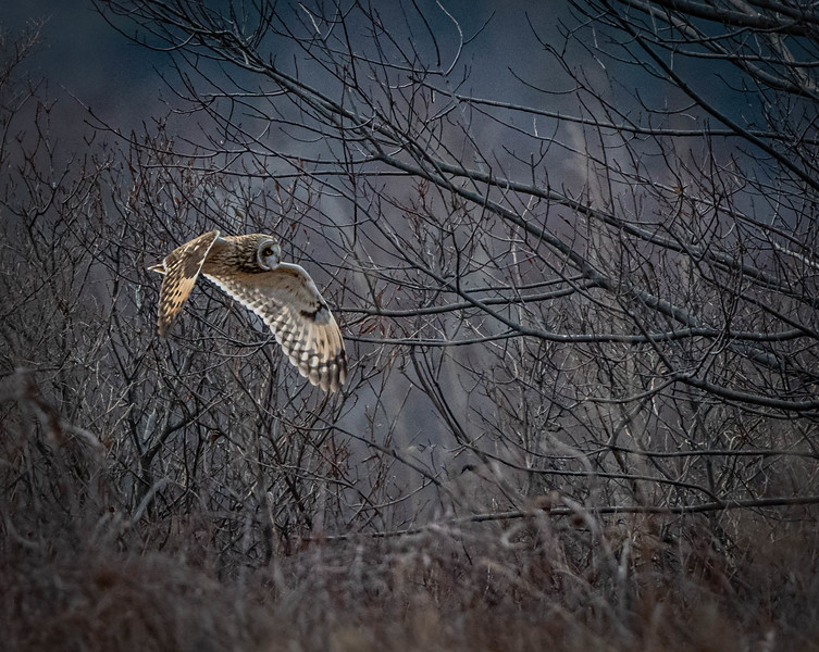 Short-eared Owl into the Woods