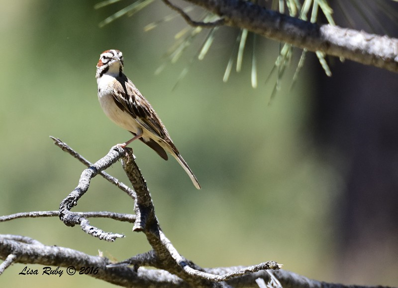 Lark Sparrow - 6/4/2016 - Mt. Laguna 19 mile marker pullout