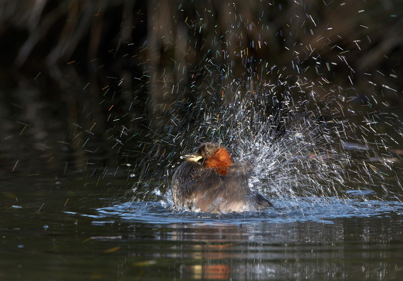 Little Grebe - 7739.jpg