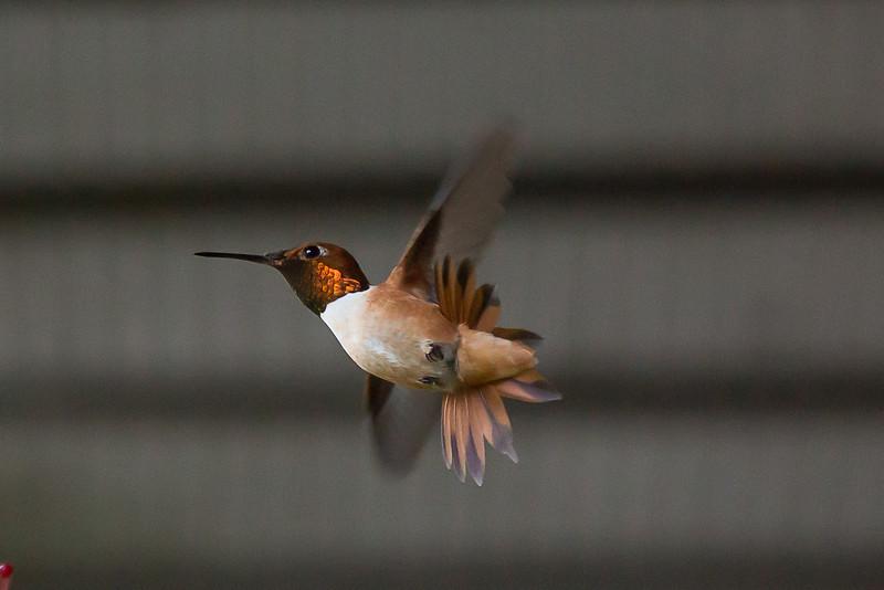 humming bird (41 of 55).jpg