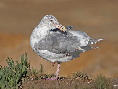 Glaucouswinged Gull