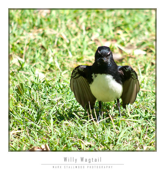 Willy Wagtail.jpg