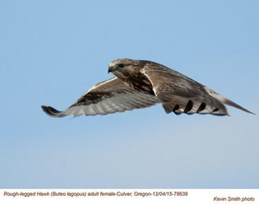 Rough Legged Hawk F78639.jpg