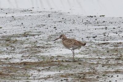 SCOLOPACIDAE - Other Shorebirds