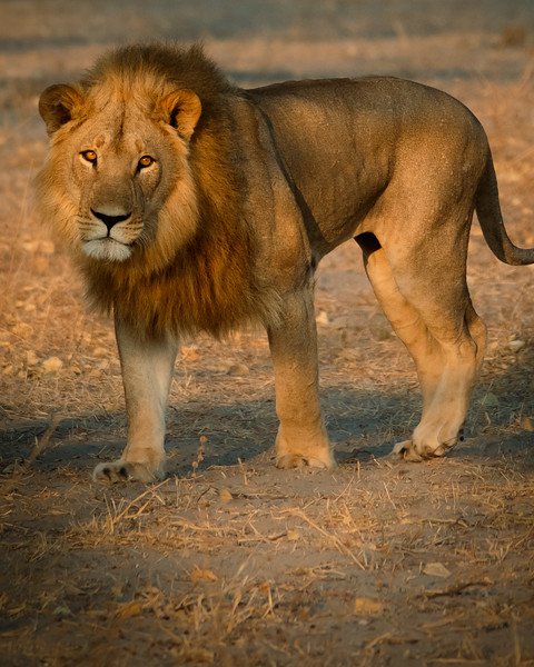 lion sunrise 2.jpg