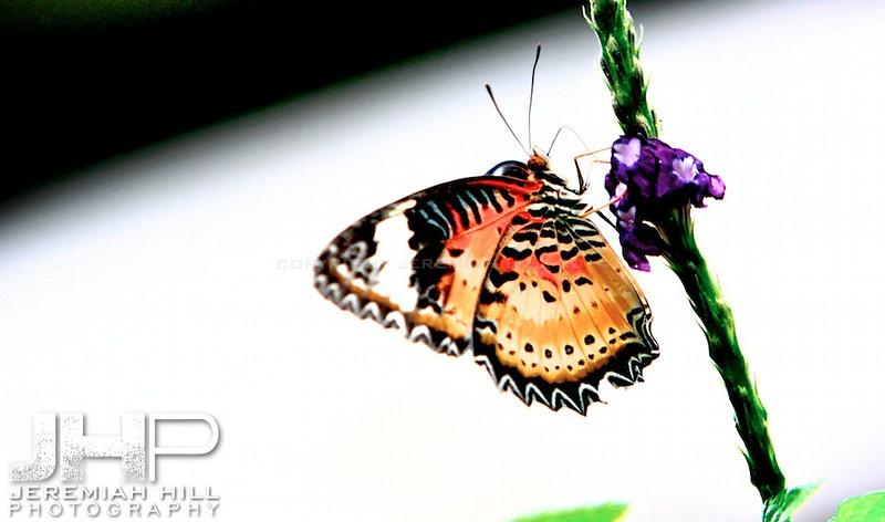 """""""A Blaze Of Butterfly In Orange"""", Toronto, Canada, 2013 Print JP13-99-218"""