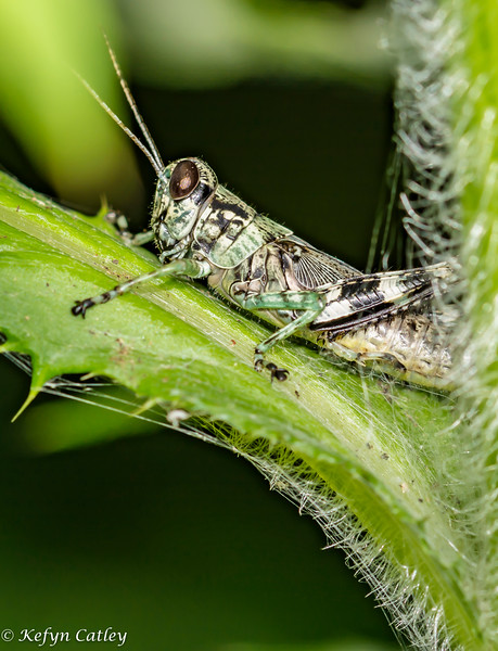 ORTHOPTERA: Acrididae: shorthorned grasshopper
