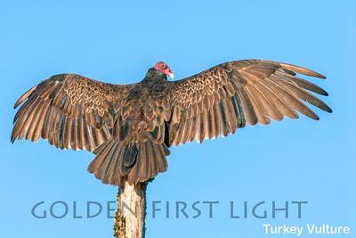 Turkey Vulture, Malheur National Wildlife Refuge, USA
