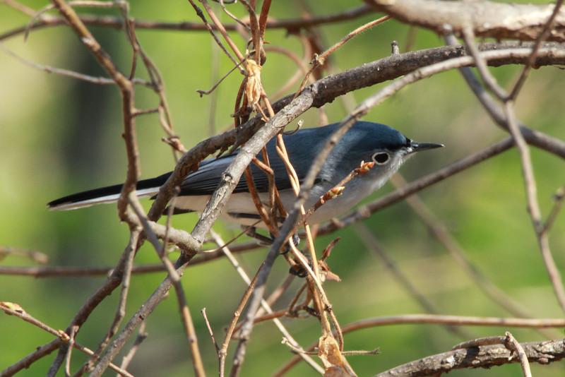 Blue-gray Gnatcatcher (Male) @ Simpson Lake CP