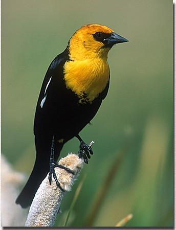 YHblackbird01Yellow-headed Blackbird.jpg