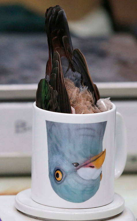 . An emerald dove is inverted in a mug for weighing during the annual bird health check at Chester Zoo in northern England, March 6, 2013. REUTERS/Phil Noble