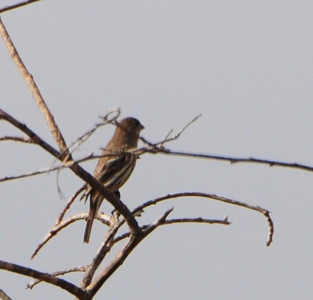 American Goldfinch - 10/12/13 - Whelan Lake