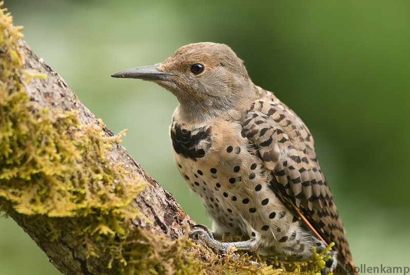 Juvenile Northern Flicker, have slightly different feather color.