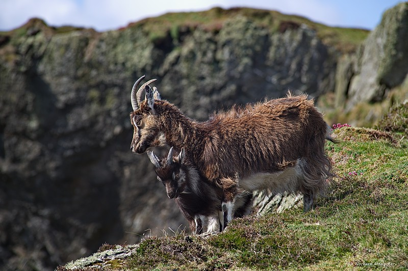 Islay - Goats near the American Monument at the Mull of Oa
