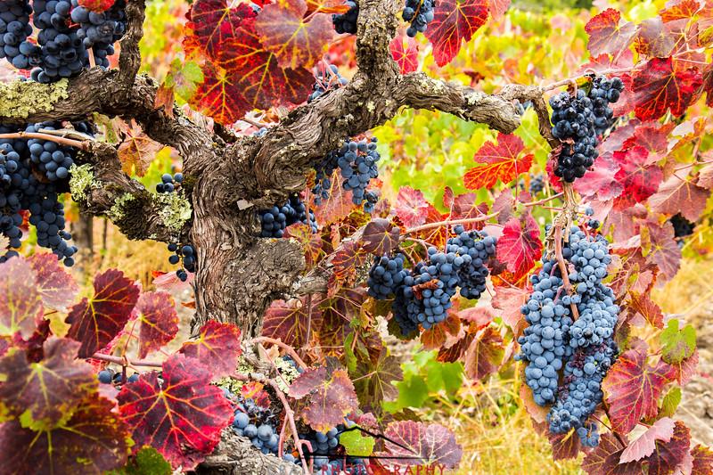 Napa Valley Harvest #25