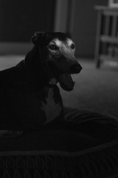 canine noir