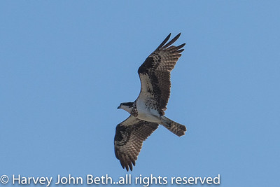 Osprey Monitoring for Felix Neck