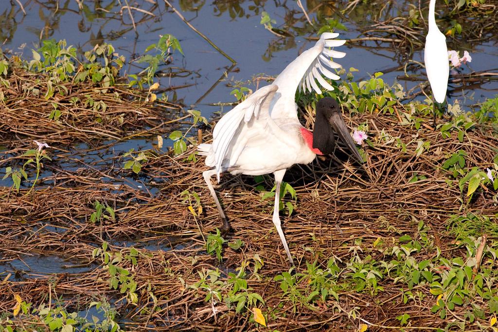 Jabiru Stork Pant_06-08-16_0015