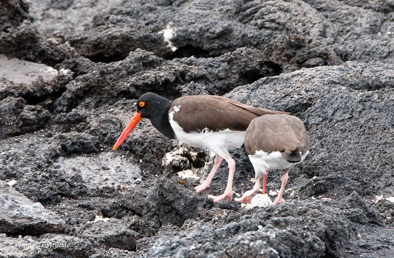 A pair of Oyster Catchers tending eggs in their nest at Punta Espinoza, Fernandina Island