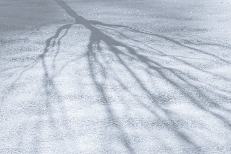 Bare Tree Casting Soft Shadow in Early Morning on Snow