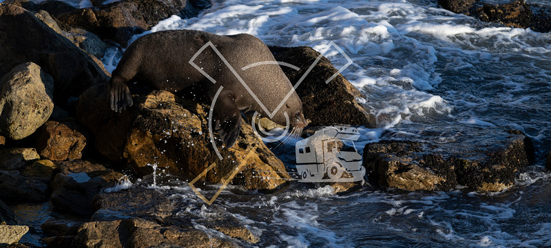 New Zealand fur seal active during a sunny sunrise at Shag Point, New Zealand