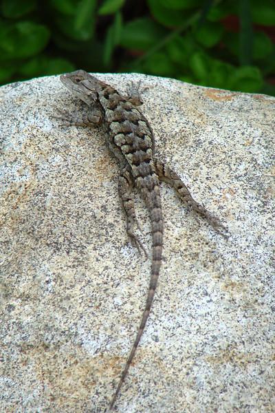 Eastern Fence Lizard (Sceloporus undulatus). TX: Tarrant Co. (Duhons' Fort Worth yard), 21 July 2007.