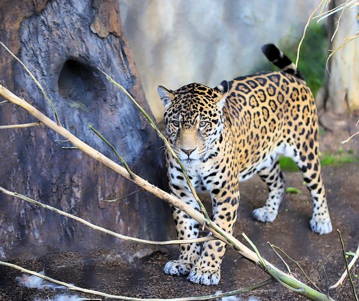 IMG_2766 Jaguar San Diego Zoo 12.28.2017 Signed.jpg