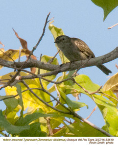 Yellow-crowned Tyranulet A83619.jpg