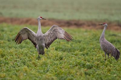Lodi Cranes 12/11/10