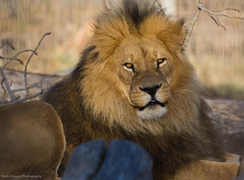 African Lion, Calgary Zoo, Dec. 6