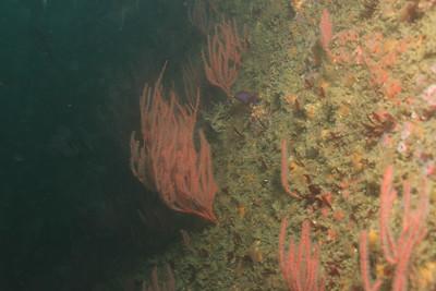 Red Gorgonian