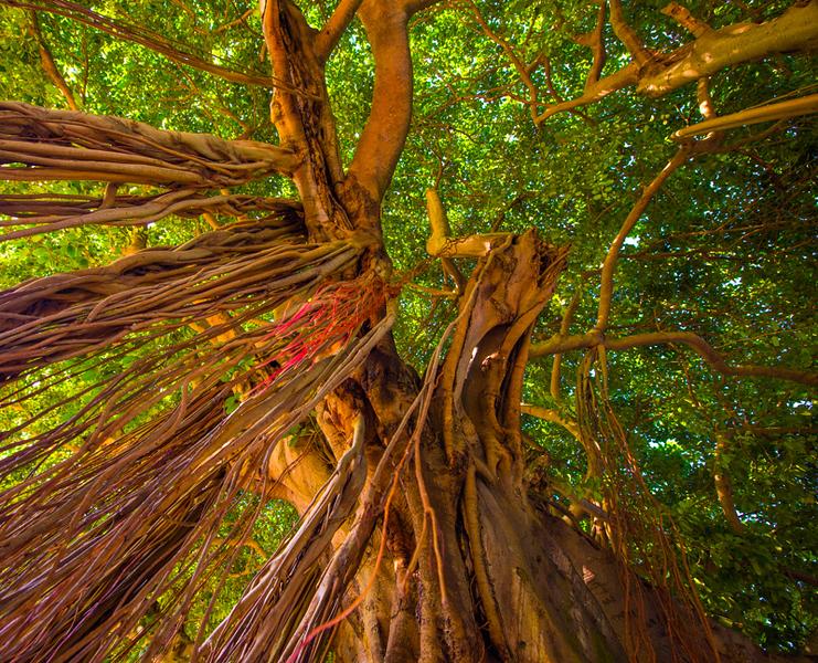 Banyan Tree 16