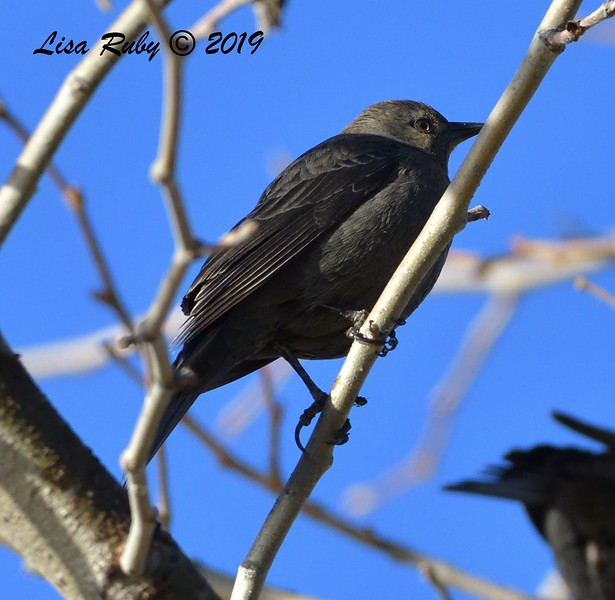 Female Brewer's Blackbird  - 12/28/2019 - Lake Wohlford area