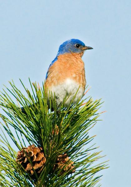Bluebird - Eastern - male - Long Lake Regional Park - New Brighton, MN - 02