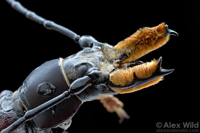 The male Callipogon bearded longhorn beetle sports an impressively furry pair of mandibles. Females have smaller, less developed jaws.  Armenia, Belize