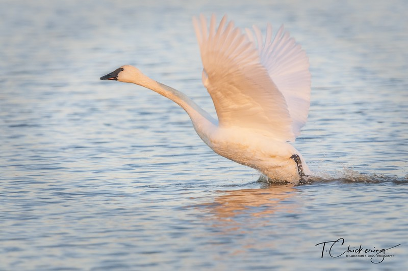 Trumpeter Swan Take Off Two-1512258859569.jpg