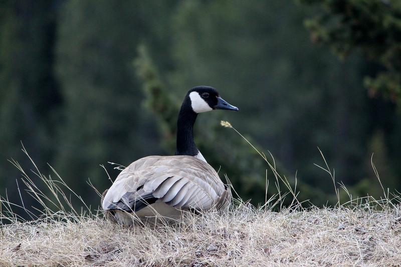 Canada goose, Vancouver, Canada